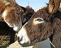 Cypriot Donkeys (31636770794).jpg