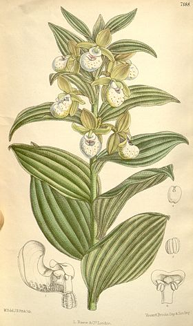Cypripedium californicum.jpg