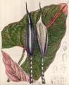 Cyrtosperma johnstonii CBM.png