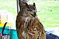 D85 1804Siberian Eagle Owl Photographed by Trisorn Triboon.jpg