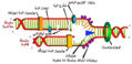 DNA replication ar.png