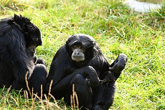Siamang -  A siamang group at rest - siamangs rest up to 50% of their waking hours.