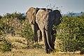 DSC07172.jpeg Elefant, afrik. (50713118788).jpg