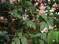 Dahlia imperialis (6367444511).jpg