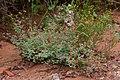 Dalea frutescens - Flickr - aspidoscelis (3).jpg