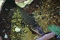 Dallas World Aquarium January 2019 09 (Orinoco crocodile).jpg