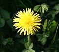 Dandelion, Taraxacum officinale - geograph.org.uk - 412445.jpg
