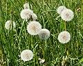 Dandelion seed heads 2.jpg