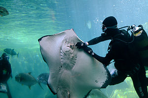UShaka Marine World - A diver feeding a Short-tail stingray
