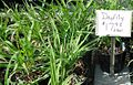 Daylily plants growing in NJ in April.jpg