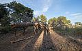 Dead Aleppo Pine, Pinet, Hérault.jpg