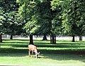 Deer in Bushy Park - geograph.org.uk - 469072.jpg