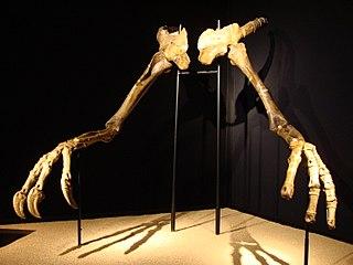 <i>Deinocheirus</i> genus of reptiles (fossil)
