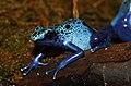 Dendrobates-tinctorius-blauer-baumsteiger.jpg