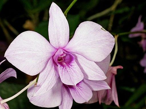 Dendrobium bigibbum Orchi 6039