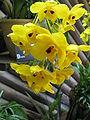 Dendrobium chrysanthum1.jpg