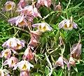 Dendrobium loddigesii 2.jpg