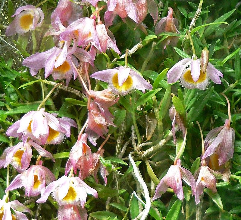 orchidee dendrobium terraria. Black Bedroom Furniture Sets. Home Design Ideas