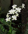 Dendrobium phalaenopsis Kiev.jpg