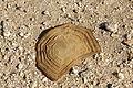 Desert tortoise shell (Gopherus agassizii) shell.jpg
