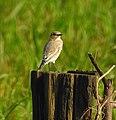 Desert wheatear kannur@kattampally birds - 5.jpg