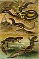 Deutschlands Amphibien und Reptilien. Eine Beschreibung und Schilderung sämmtlicher in Deutschland und den angrenzenden Gebietan vrokommenden Lurche und Kreichthiere (1897) (20267545663).jpg