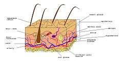 Diagram of human skin.jpg