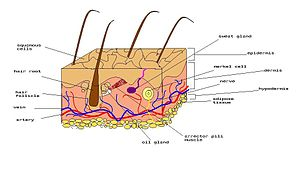 Merkel cell - Diagram of human skin. In humans...