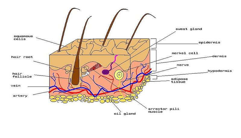 پرونده:Diagram of human skin.jpg