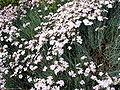 Dianthus caryophyllus 001.jpg