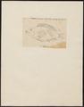 Diastodon speciosus - 1825 - Print - Iconographia Zoologica - Special Collections University of Amsterdam - UBA01 IZ13900203.tif
