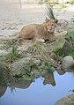 Dierenpark Emmen Reflection of a lion (10776573535).jpg