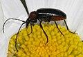 Dinoptera-collaris-03-fws.jpg
