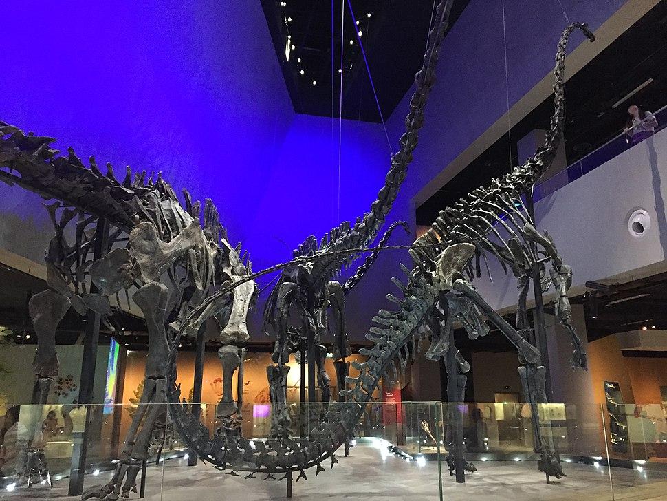 Diplodocid sauropod skeletons, Lee Kong Chian Natural History Museum, Singapore - 20150808-01