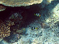Diving Maldives, 2009 - Clownfishes.jpg