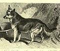 Dog–fox hybrid 2.jpg