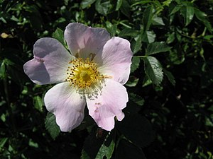 Dog Rose - Rosa canina. This simple but beauti...