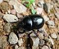 Dor Beetle Anoplotrupes stercorosus (45265375885).jpg