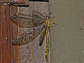 Dotted Veld Antlion (Palpares sobrinus) male (13644385325).jpg