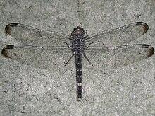 Dragonfly great wings.jpg