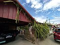 Dragonfruit plant growing on fence and gable.jpg