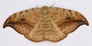 Drepanidae Family containing the hook-tip moths