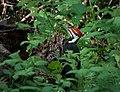 Dryocopus pileatus in Washington Park Arboretum.jpg