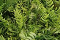 Dryopteris marginalis 8zz.jpg