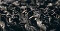 Ducks at Vijayawada.jpg