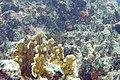 Dusky squirrelfish Sargocentron vexillarium (3475243820).jpg