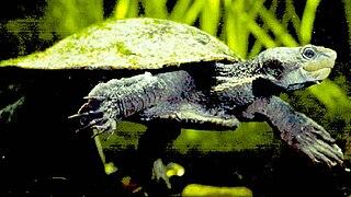 <i>Elseya</i> genus of reptiles
