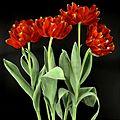 Early Double Tulip (14356460721).jpg