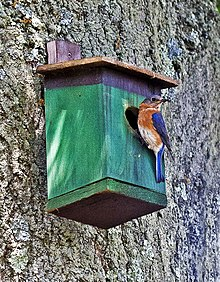 Eastern Bluebird (Sialia sialis) at nesting box