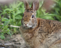 Eastern cottontail (Sylvilagus floridanus) facing front. Medford, Massachusetts, United States 02.png